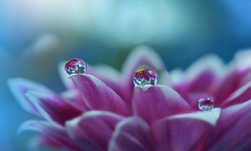 kapli-cvetok-lepestki